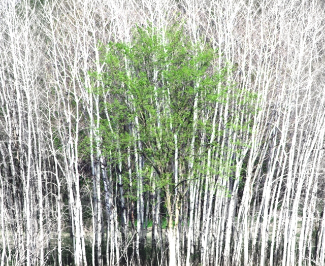 A little green tree and aspen grove - hi contrast, bright