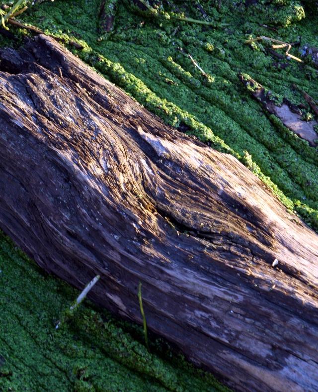 A rotting log gathers algea #2