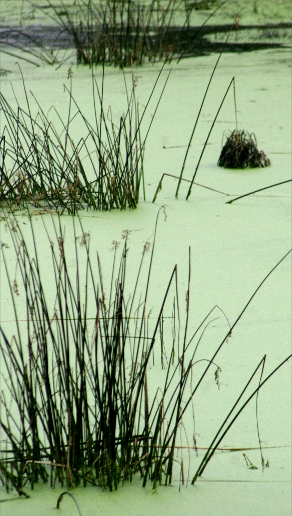 Abstract plant stems and duckweed scum 002