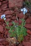 Blue blooms, Sedona 3.18.16