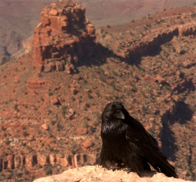 Raven visiting the visitor center, Grand Canyon 3.16.16