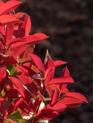 Red leaves of shrubs in Sedona, AZ 002 3.17.16