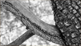 Scaly and smooth, contrasting bark of the Juniper 002 BW, Sedona, AZ
