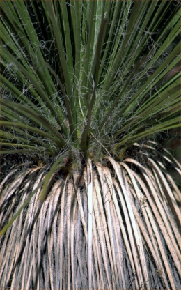 Yucca, the living and the dead as one plant, Sedona, AZ 3.18.16