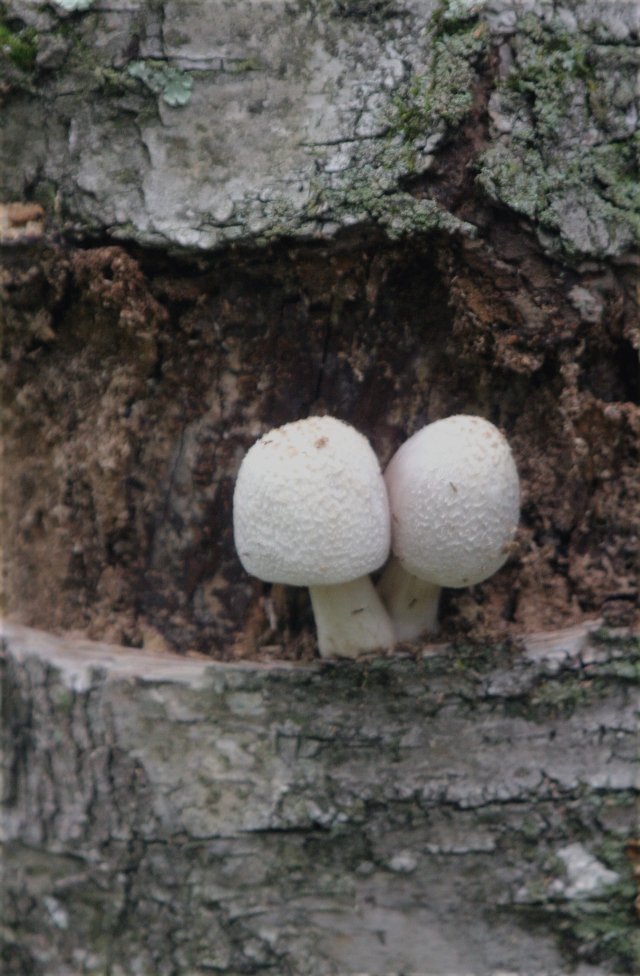 2-mushrooms-from-the-aspen-bark-rib-mtn