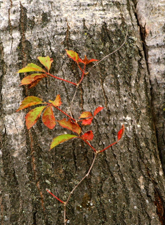 a-fall-preview-aspen-bark-and-leaves-rib-mtn