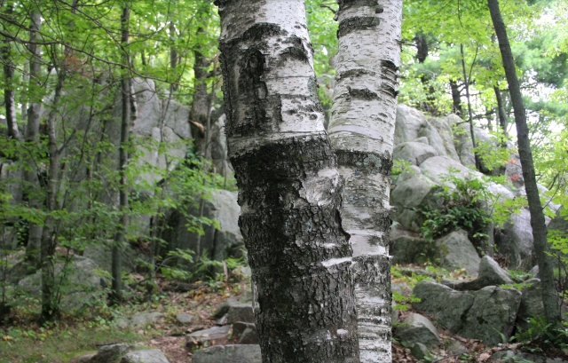 birch-bark-and-boulders-rib-mtn