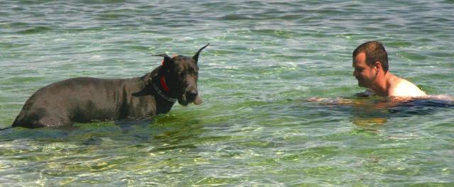 good-wet-doggie-great-dane-in-lake-michigan