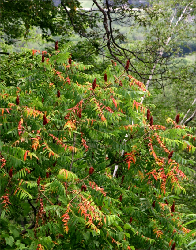 sumac-turning-colors-in-mid-august-oh-my-rib-mtn