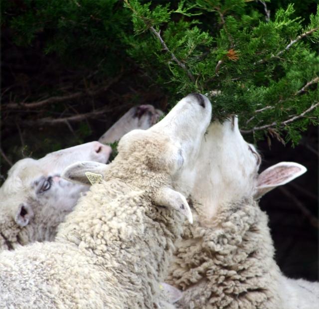 high-hanging-fruit-sheep-at-gale-farm-3