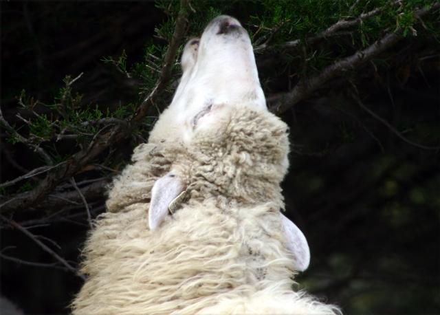 high-hanging-fruit-sheep-at-gale-farm-5