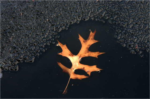 maple-leaf-on-melting-pond-three-ponds-park