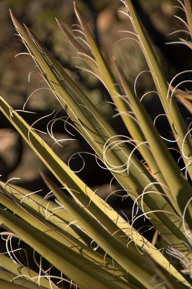 yucca-and-fiber-curls-grand-canyon-3-16-16