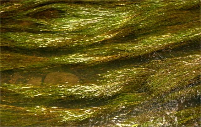 algea-going-with-the-flow-creek-in-minnetonka