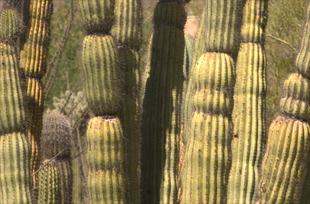 banded-cacti-desert-museum