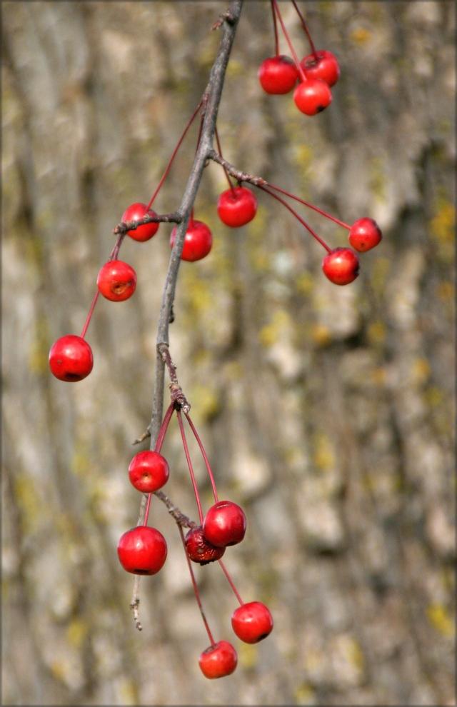 berries-and-blurry-bark-mn-arboretum