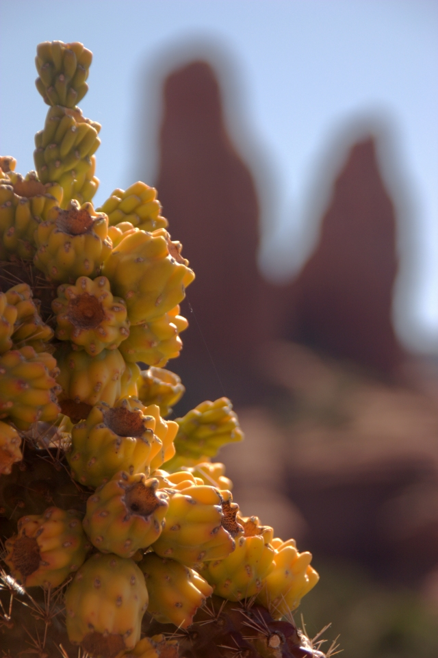 cactus-buds-and-red-rock-formation-sedona-az