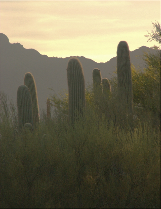 cactus-study-003-nw-tuscon-area-3-21-16