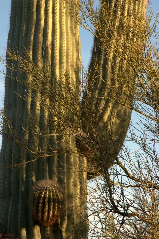cactus-study-nw-tuscon-area-3-21-16