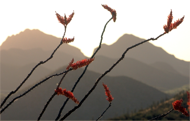 ocotillo-blooms-and-west-tucson-landscape-from-a-mountain-02