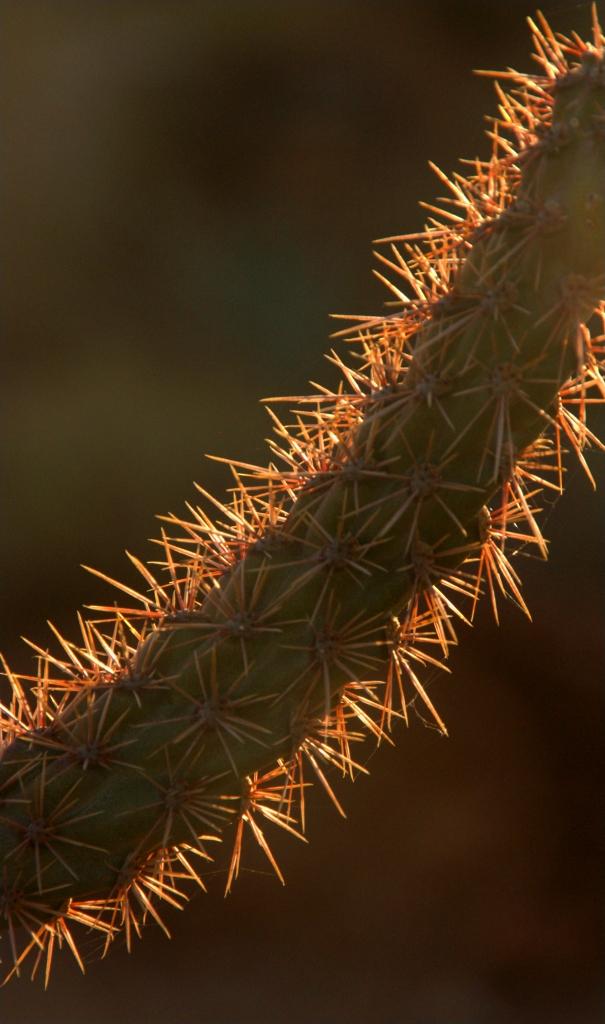 prickily-branch-west-tucson