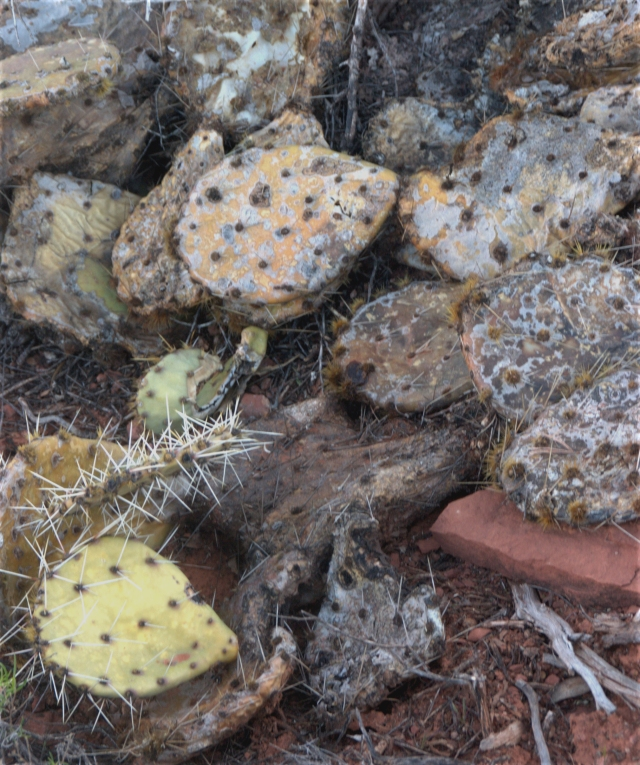 prickly-pear-with-a-deathly-pale-sedona-3-19-16