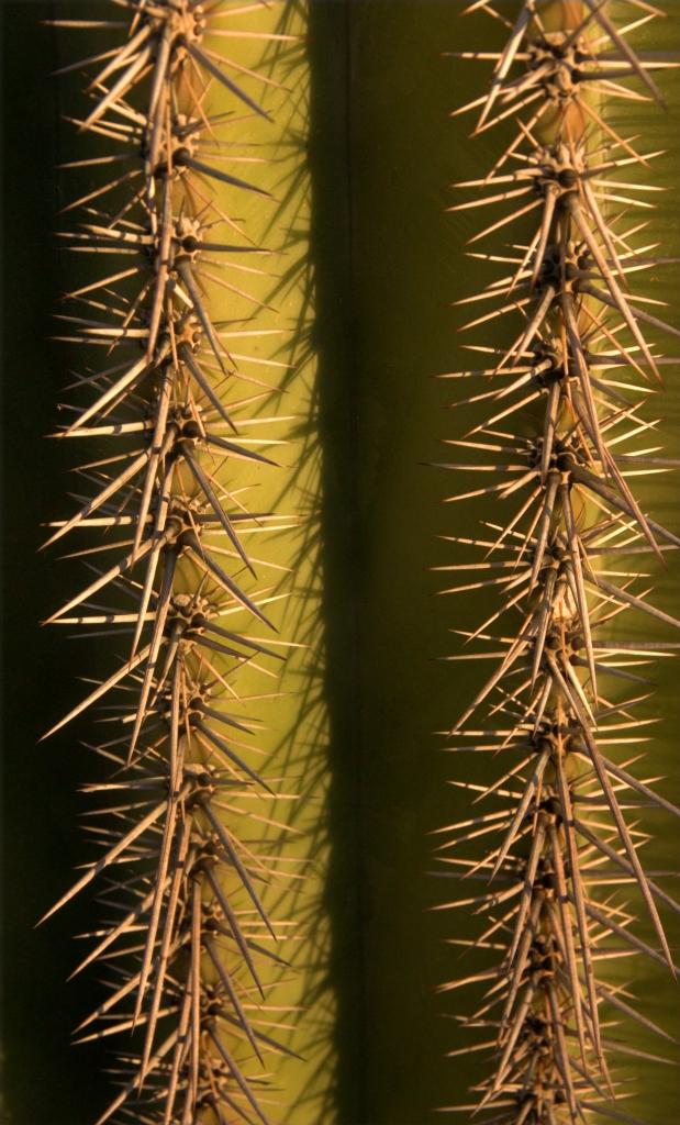 rows-of-pricks-close-up-saquaro-cactus-003