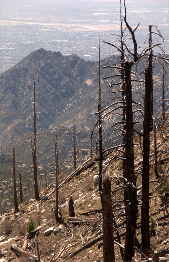 the-burnt-trees-near-top-of-mt-lemmon