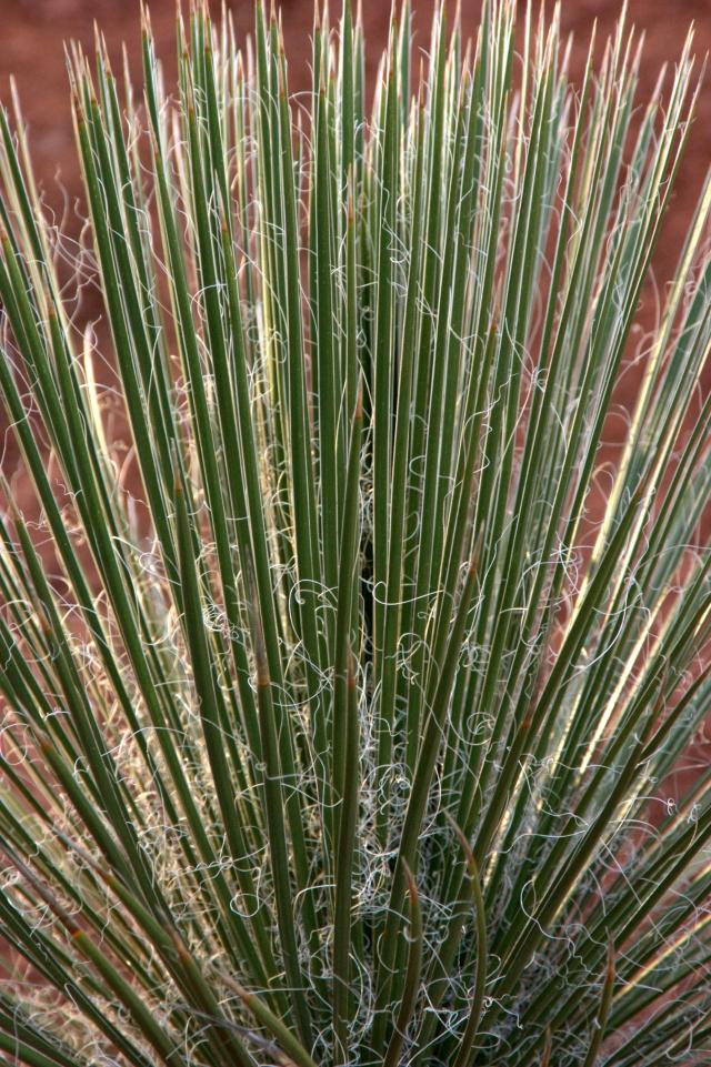 yucci-plant-study-sedona-3-19-16
