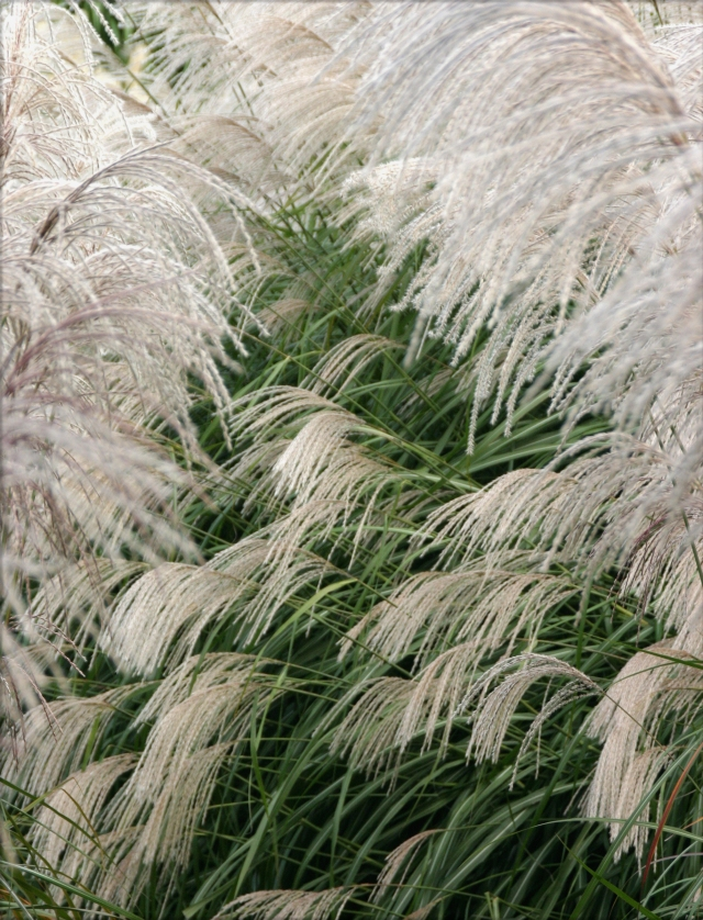 weeping-ornamental-grasses-mn-arborteum